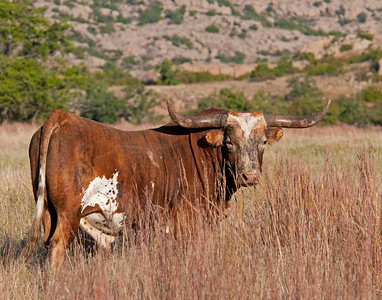 Texas Longhorn, Wichita Mountains National Wildlife Refuge, Oklahoma