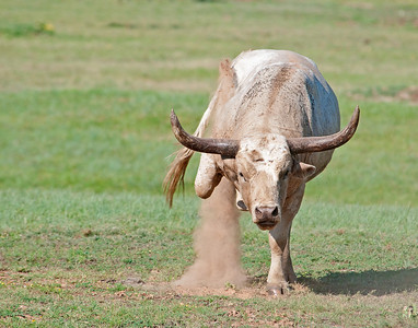 Longhorn Bull, Wichita Mountains Wildlife Refuge, Oklahoma