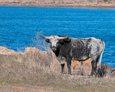 Texas Longhorn Bull, Wichita Mountains Wildlife Refuge, OK