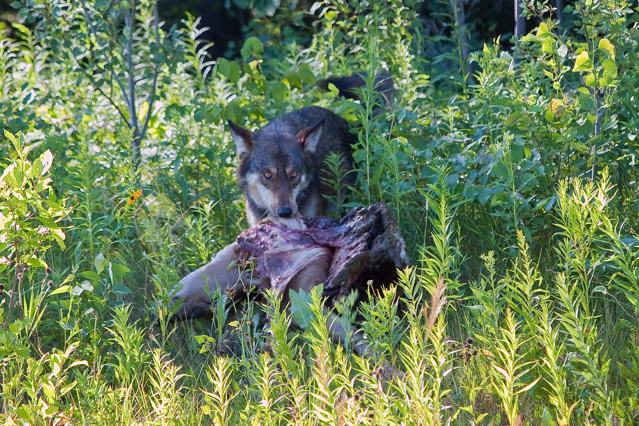 Wild TimberWolf in Western U.P. Michigan dragging deer carcus.