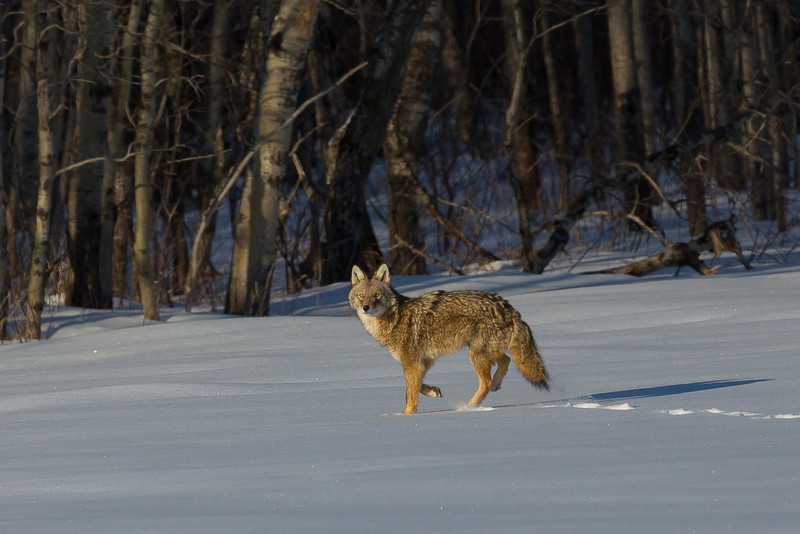 Coyote in Eastern U.P. of Michigan