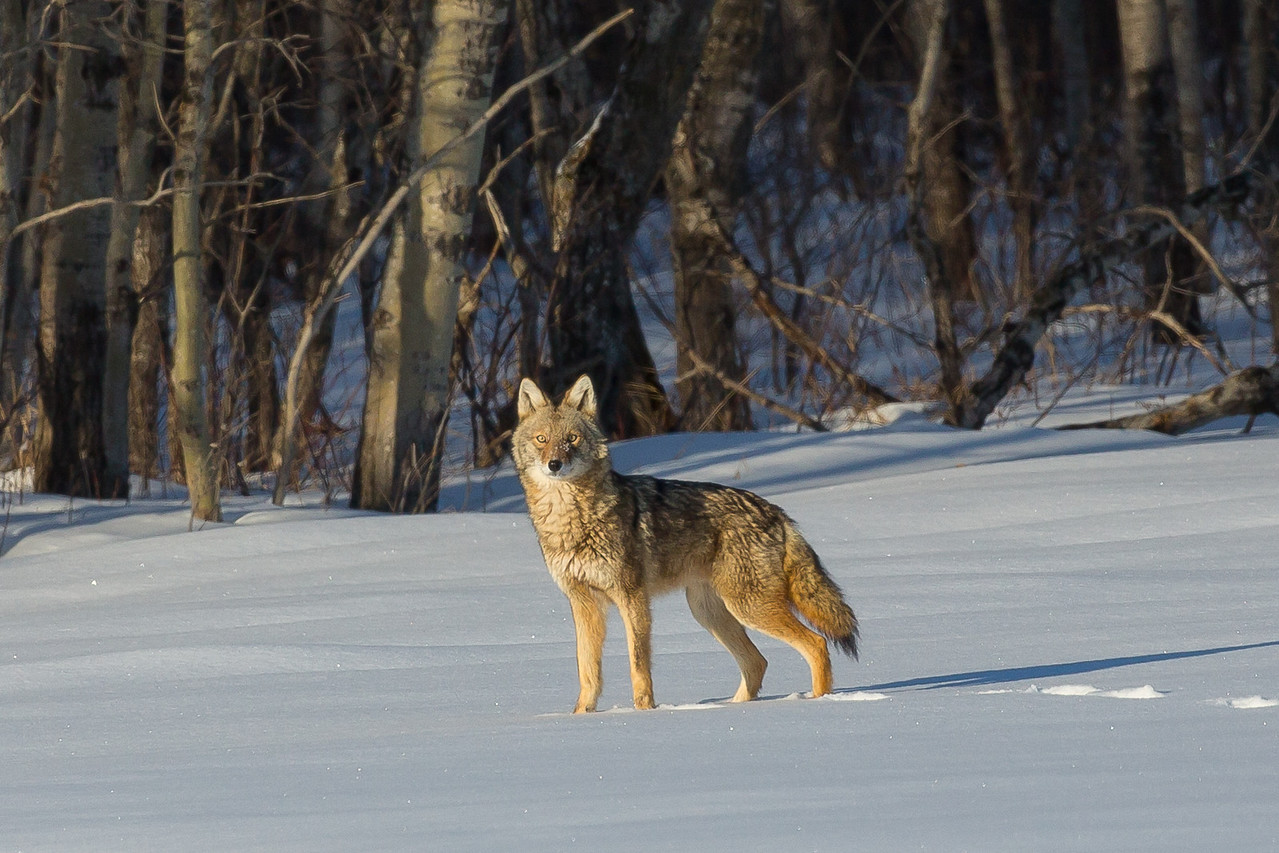 Healthy looking winter Coyote
