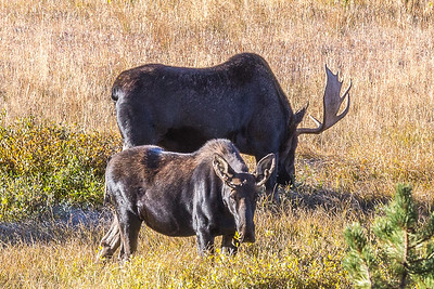 Pair of Moose