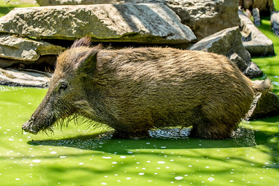 wild boar in water