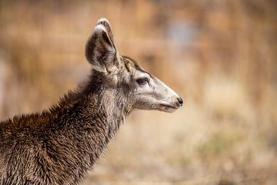 Wet Deer