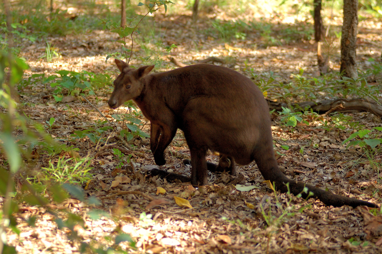 Macropus bernardus, Black Wallaroo. Territory Wildlife Park, NT, Australia. March 2008