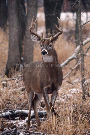White Tail Buck, North America