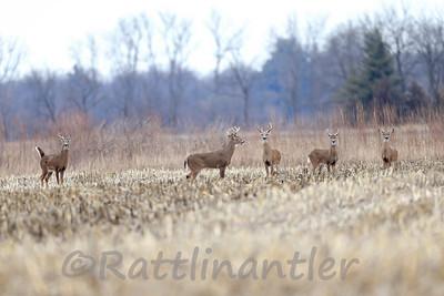 5 White-Tailed Bucks