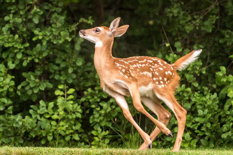 White-tailed deer (Odocoileus virginianus). Fish Lake, Maple Grove, MN.
