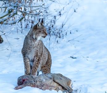 Lucky Bobcat