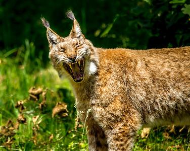 angry bobcat
