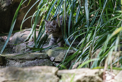 hunting wildcat