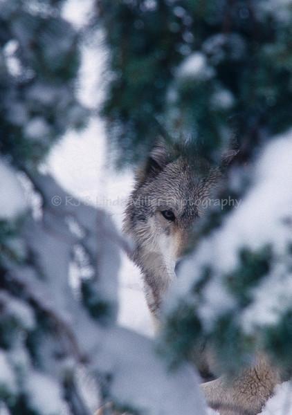Wolf, North America