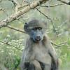 junger Bärenpavian frisst Blüte im Fynbos, Savanna Baboon, Papio cynocephalus ursinus, De Hoop Nature Reserve, Südafrika, De Hoop Nature Reserve, Western Cape, South Africa, Südafrika