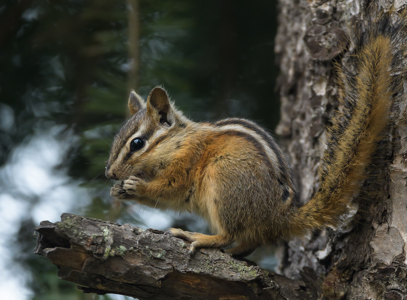 Yellow-pine Chipmunk (Tamias amoenus)