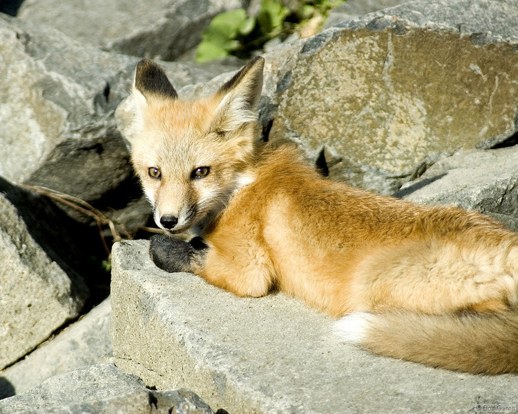 Red Tailed Fox (Pups)<br /> Boulder County, Colorado<br /> N. 75th St.