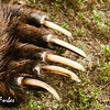 Grizzly Bear claws<br /> Close up of the Grizzly bears claws, Katmai Peninsula, Alaska