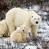 Mom & 2 cubs, Churchill, Canada