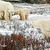 Polar bear protecting its young<br /> Mom protecting its cubs from an interested male, Churchill, Canada