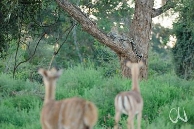 Nyala- (Tragelaphus angasii) und Impalaweibchen (Aepyceros melampus) beobachten einen Leoparden (Panthera pardus), Krüger Nationalpark, Limpopo, Südafrika, [en] impala and nyala observing a leopard, Kruger National Park, South Africa