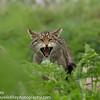 European Wildcat, Felis silvestris silvestris