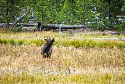 Bull elk bugling - Yellowstone