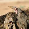 Bärenpavian oder Tschakma, (Papio ursinus), Imponiergehabe des Männchens, Krüger Nationalpark, Kruger National Park, Südafrika