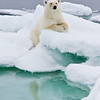 Polar Bear (ursus maritimus) sitting expectantly, Sorporten, Svalbard, Norway