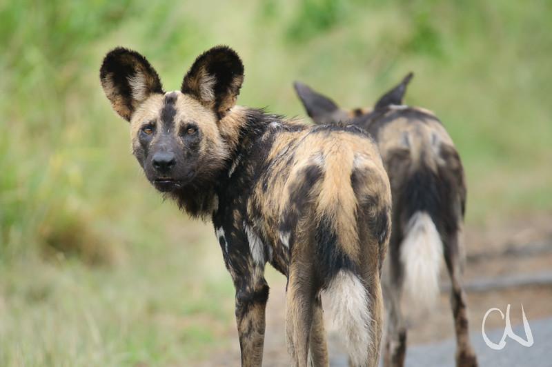 Wildhund, Wild Dog, Lycaon pictus, Hluhluwe-Imfolozi Game Reserve, Südafrika, South Africa, Hluhluwe-Umfolozi Game Reserve, Imfolozi, Südafrika, South Africa