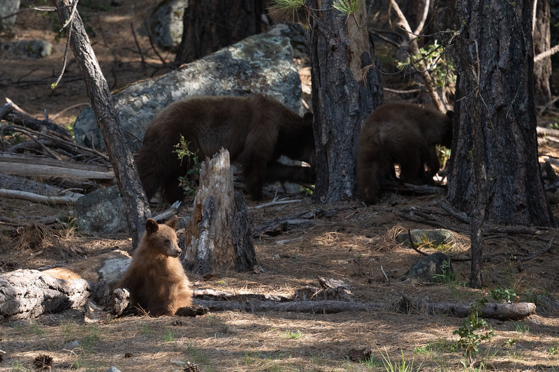 Sow and two cubs foraging in Yosemite Valley.  Well one cub foraging and another distracted by park visitors nearby.