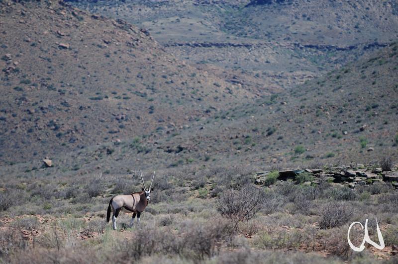 Oryx-Antilope, Oryx gazella, Karoo National Park, Südafrika, South Africa