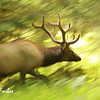 Roosevelt Elk at Sol Duc, Olympic National Park, Washington