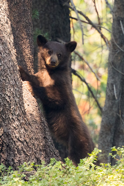 Black Bear Cub climbs down from an afternoon nap in a tree.  Tuolumne Meadows in Yosemite NP.
