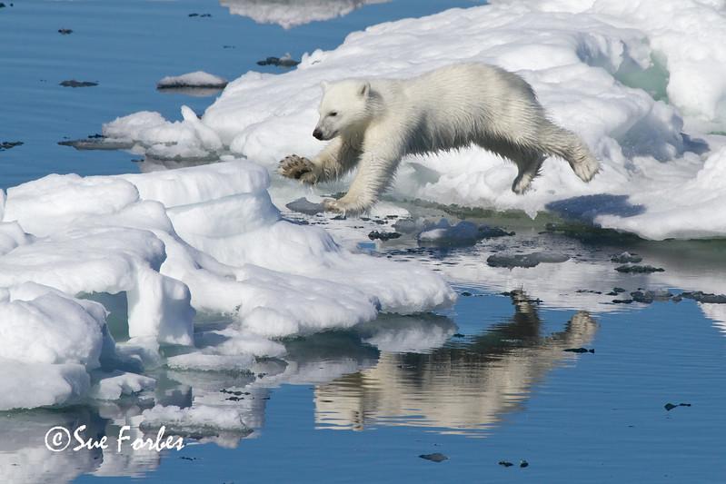 Leaping Polar Bear cub