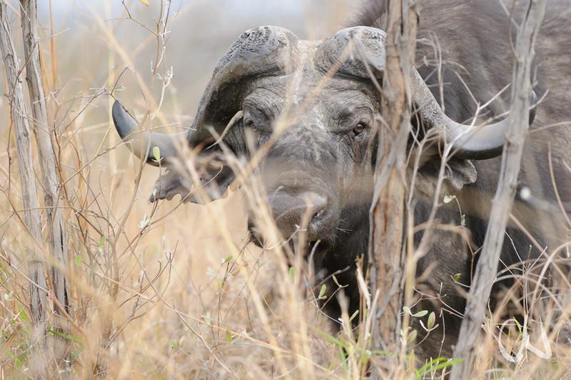 Kaffernbüffel, Syncerus caffer, Krüger Nationalpark, African buffalo, Kruger National Park, Südafrika, South Africa