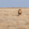 Löwenmännchen, male lion, Panthera leo, Etosha National Park, Namibia
