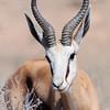 Springbok, Springbock, Antidorcas marsupialis, Kalahari Gemsbok National Park, Transfrontier Park, Südafrika