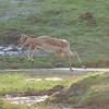 impala antelopes jumping over water at Chobe River, Impala-Antilopen, Aepyceros melampus, Chobe National Park, Botswana, Botsuana, Chobe National Park, Nationalpark, Okavango Delta, Botswana, Botsuana