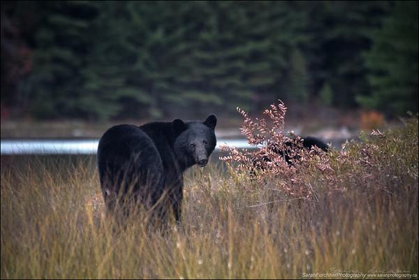 Black bear cub and sow Ursus americanus