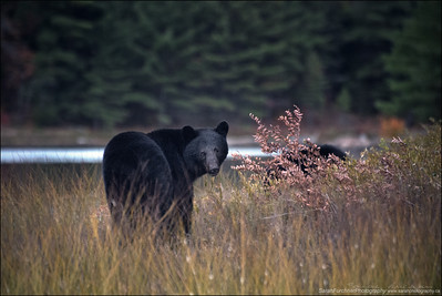 Black bear cub and sow Ursus americanus