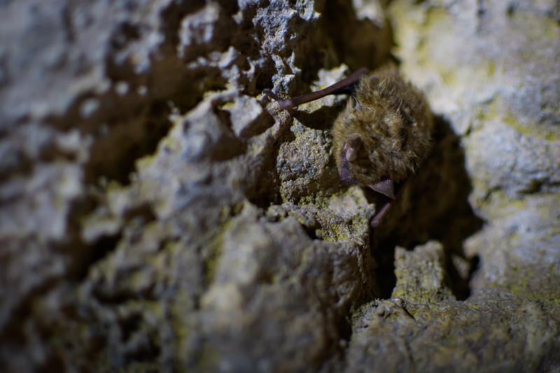 Tri-Colored Bat (Perimyotis subflavus)