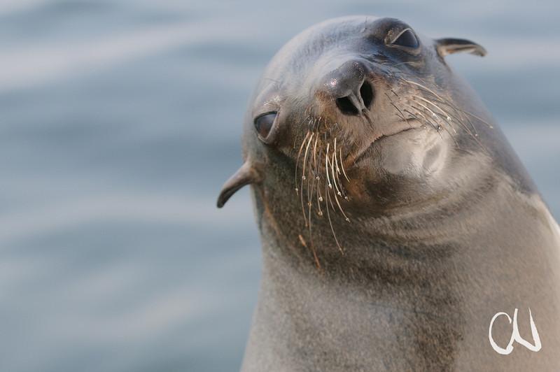 Porträt Südafrikanischer Seebär, Kap-Pelzrobbe, (Arctocephalus pusillus), Walfischbucht, Namibia, [en] Brown Fur Seal, Cape Fur Seal, Otariids, Eared seals, portrait, Walvis Bay, Namibia
