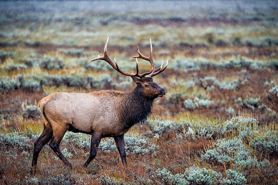 Bull Elk in the Grand Tetons