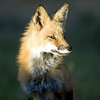 Red Tailed Fox (Mom)<br /> Boulder County, Colorado<br /> N. 75th St.
