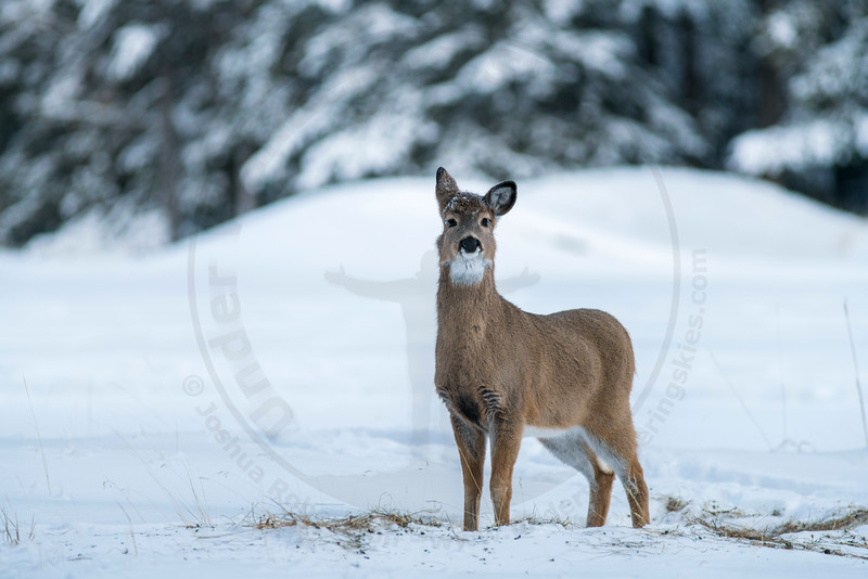 White-Tail Deer Doe, Banff National Park