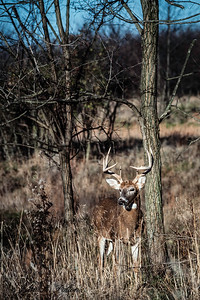 Whitetail Deer, buck