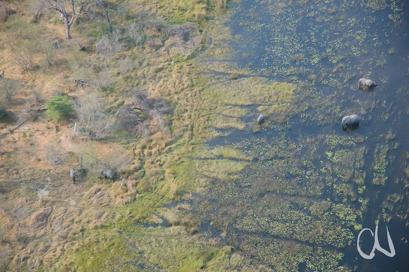 Okavango-Elefanten