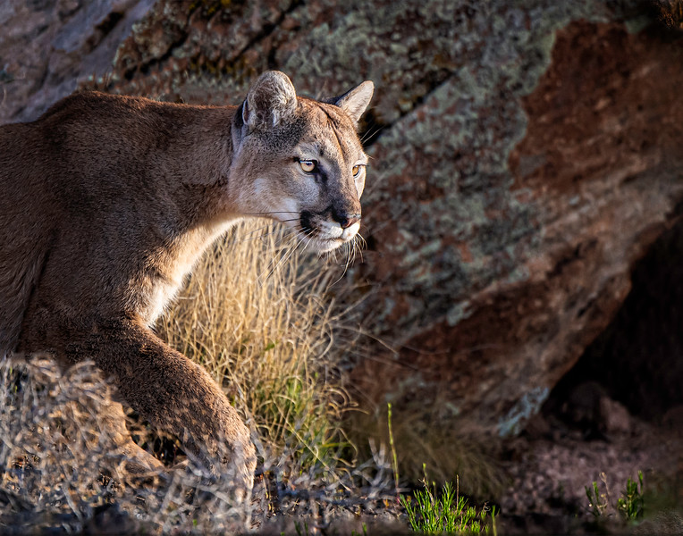 Mountain Lion - Colorado