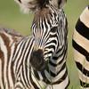 Zebrafohlen, Plains zebra foal, Equus quagga, Greater St. Lucia Wetland Park, Südafrika, South Africa, Greater St. Lucia Wetland Park, Südafrika, South Africa