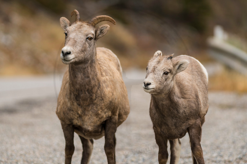 Big Horn Sheep Ewe and Lamb, Banff National Park